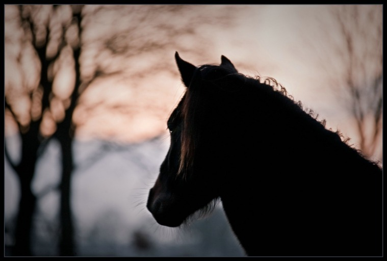 Belgisch Trekpaard 01