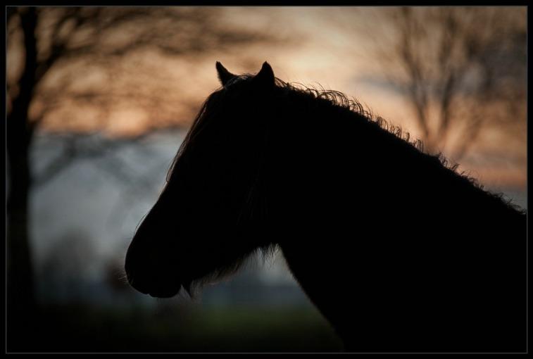 Belgisch Trekpaard 02