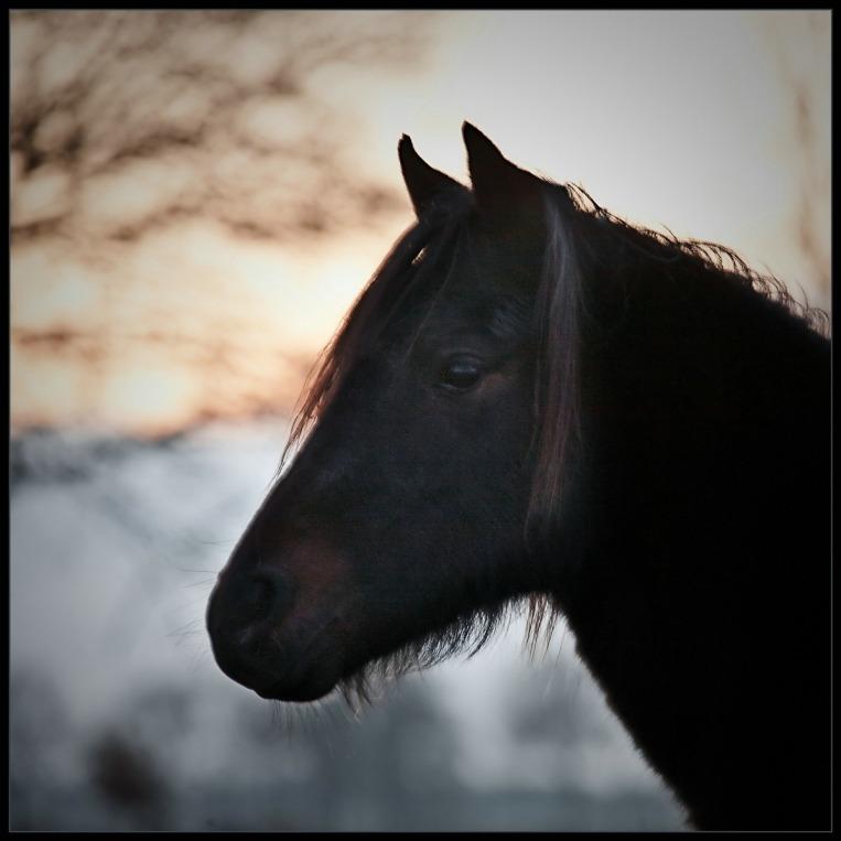 Belgisch Trekpaard 03