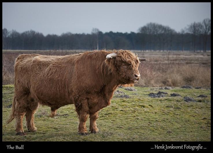 Schotse Hooglander 02