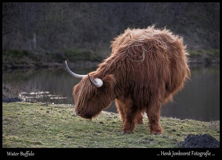 Schotse Hooglander 03