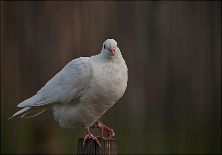 Witte Duif 03