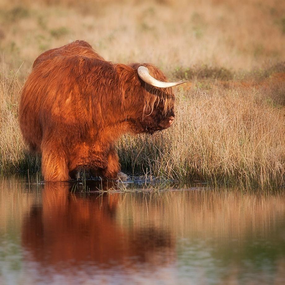 Schotse Hooglander 01