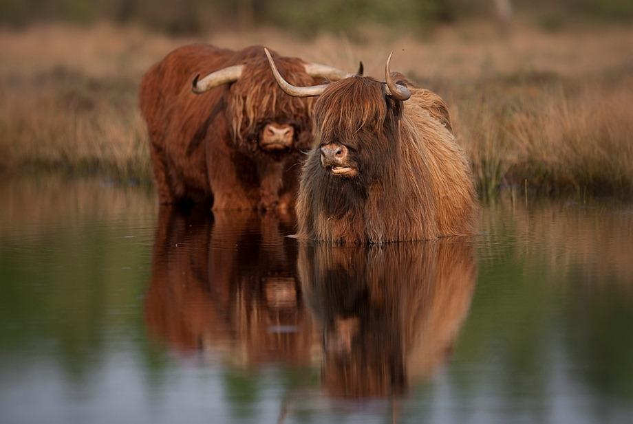 Schotse Hooglander 04