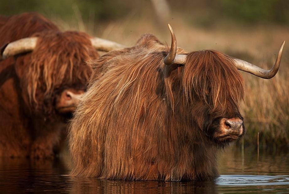 Schotse Hooglander 05