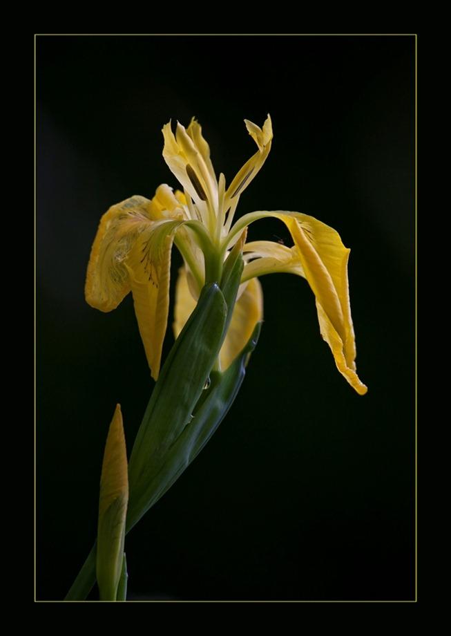 2011-05-18 Gele Lis