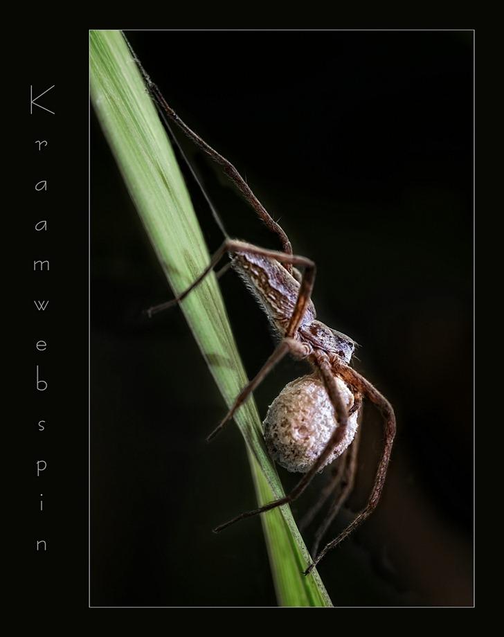 Kraamwebspin  01