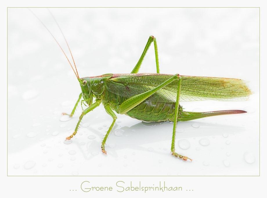 Groene sabelsprinkhaan Tettigonia viridissima 02