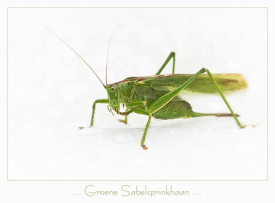 Groene sabelsprinkhaan Tettigonia viridissima 04
