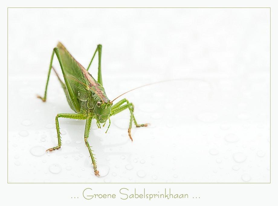 Groene sabelsprinkhaan Tettigonia viridissima 03