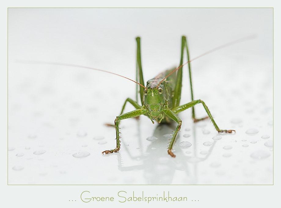 Groene sabelsprinkhaan Tettigonia viridissima 01