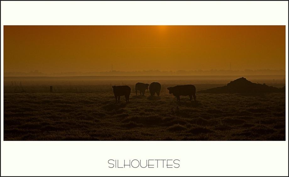 Koeien silhouetten
