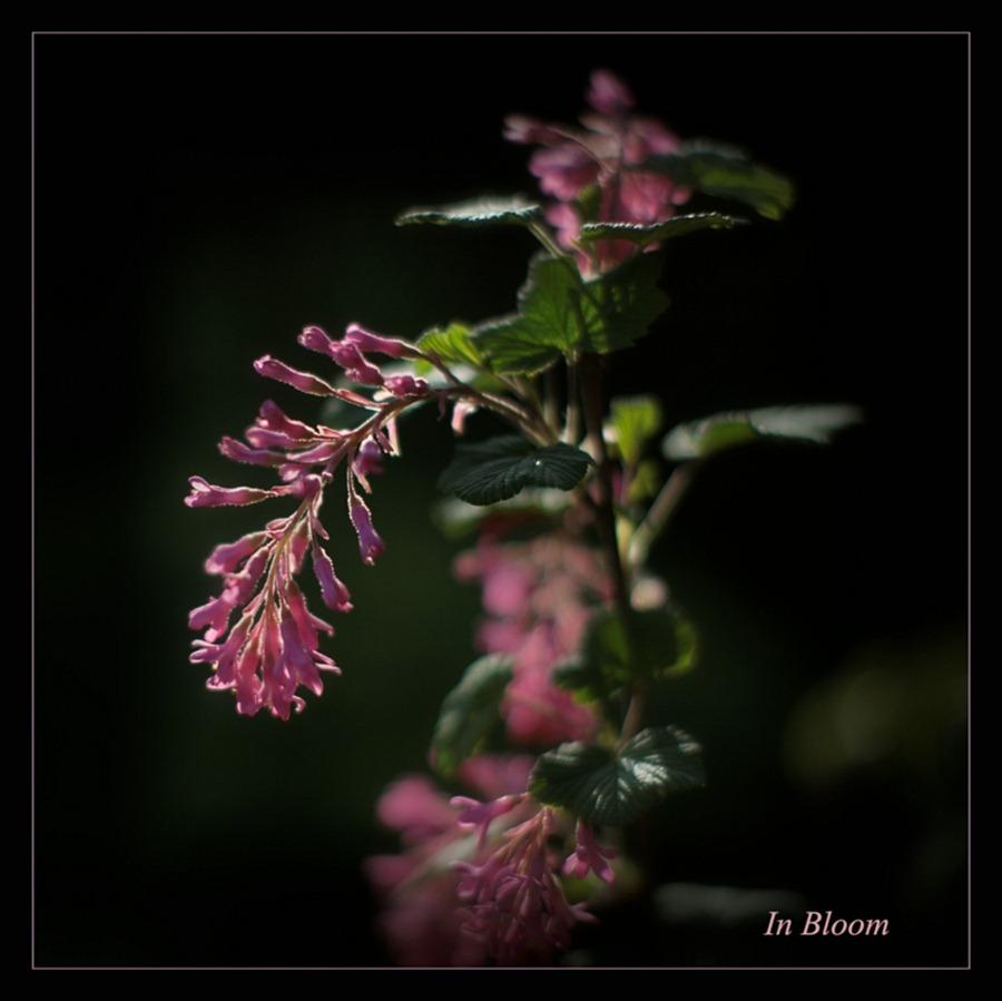 Siertrosbes   Ribes Sanguineum