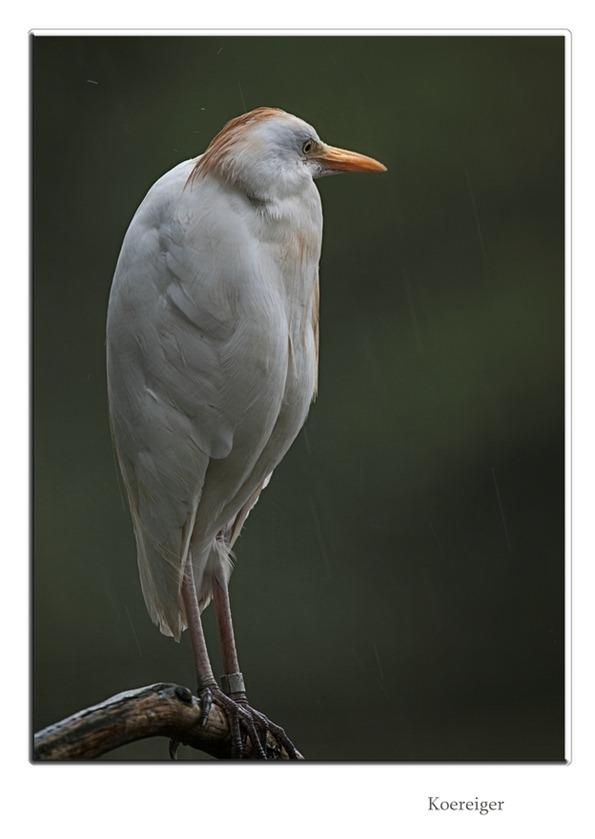 Koereiger   Bubulcus ibis