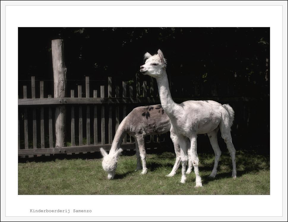 Staphorst Kinderboerderij Samenzo Alpaca 01