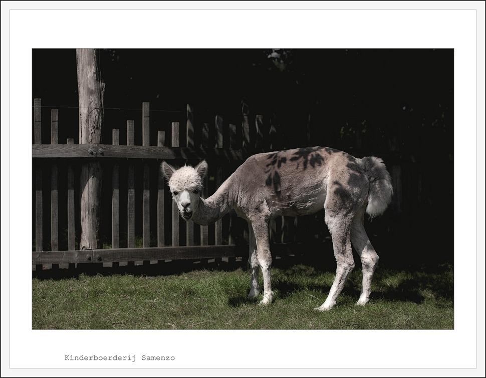 Staphorst Kinderboerderij Samenzo Alpaca 02