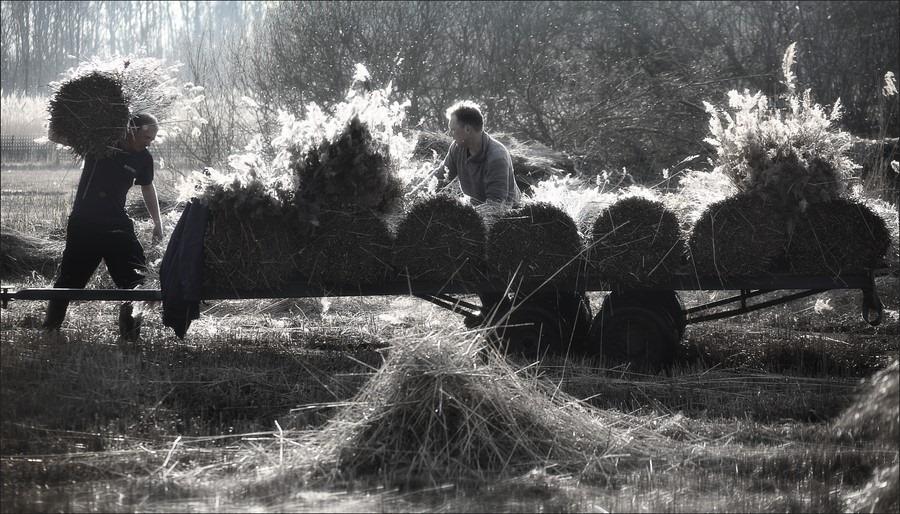Rietland Foto Rietlanden Foto Rietoogst Foto Riet Oogsten Foto Het oogsten van riet Foto Werken op het rietland Foto Werken in het riet Foto Belt Schutsloot