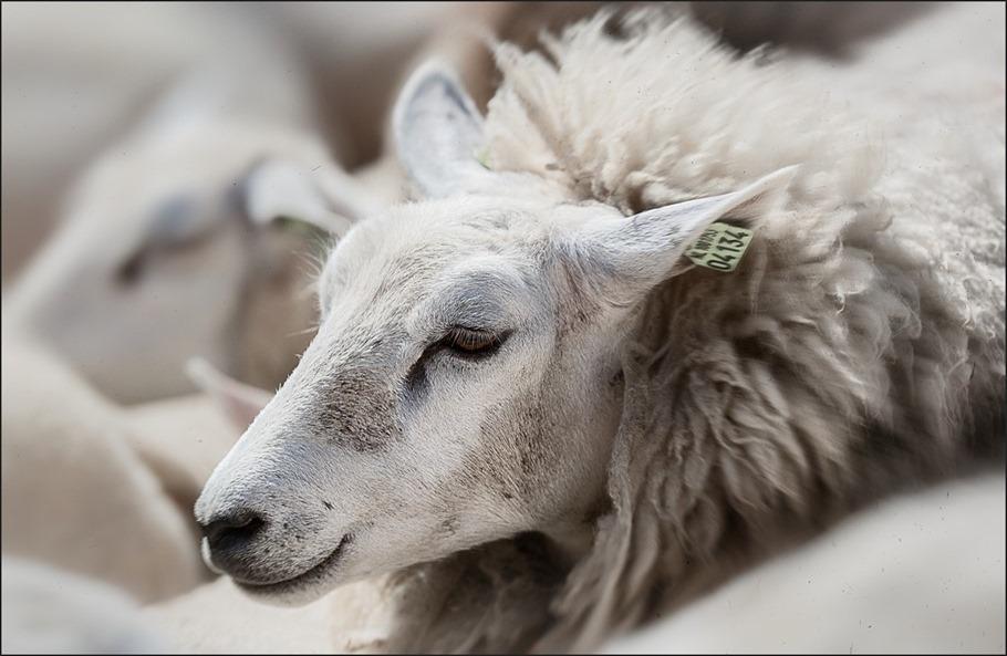 Lijdzaam Foto Berustend Foto Gelaten Foto Schaapscheren Foto Schapen Scheren Foto Veldschuur Foto Veel makke schapen in een hok Foto Schapen Scheren in de Veldschuur
