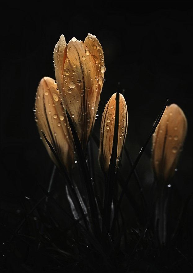 Zon en regen Foto Voorjaarsbode Foto Krokus Foto Tegenlicht Macro Foto Druppels Foto Flora