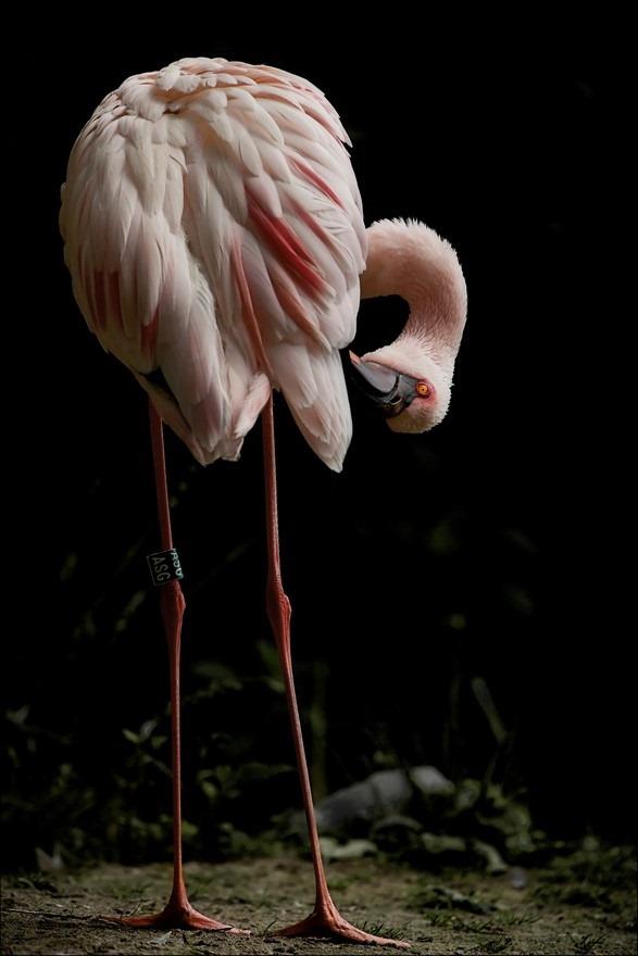 Flamingo Foto Rose Flamingo Foto Steltloper Foto Waadvogel Foto Lange Poten Foto Lange Hals Foto Veren Poetsen Foto Veren Oppoetsen