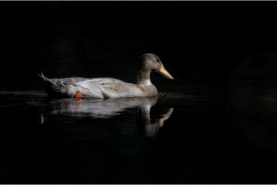 Peddelen Foto Foerageren Foto Spiegeling Foto Spiegeling eend Foto Reflectie Foto Zwemmen Foto Watervogel Foto Eend