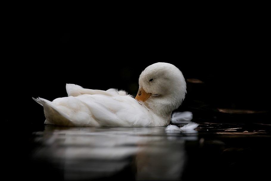 Peking eend Foto Witte Eend Foto Wilhelminapark Meppel Foto Ochtendritueel Foto Badderen Foto Badderende watervogel Foto Veren oppoetsen Foto Veren gladstrijken