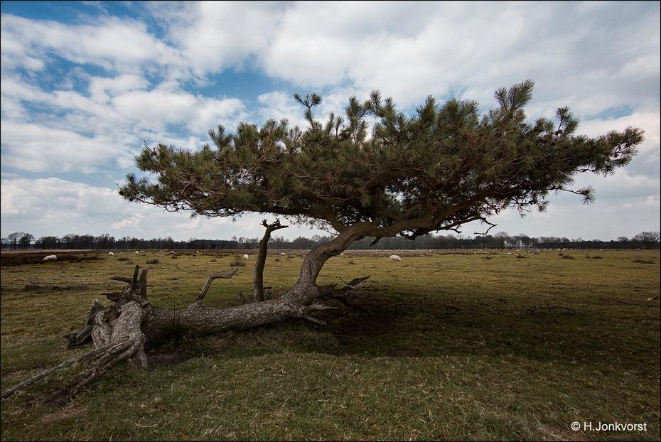 Nationaal Park Dwingelderveld Foto Dwingelderveld Foto Dwingelose Heide Foto Grillige Boom Foto Grillige vormen in de Natuur Foto Desolaat Landschap Foto Leegte in een Landschap Foto Eenzame Boom Foto Landschap
