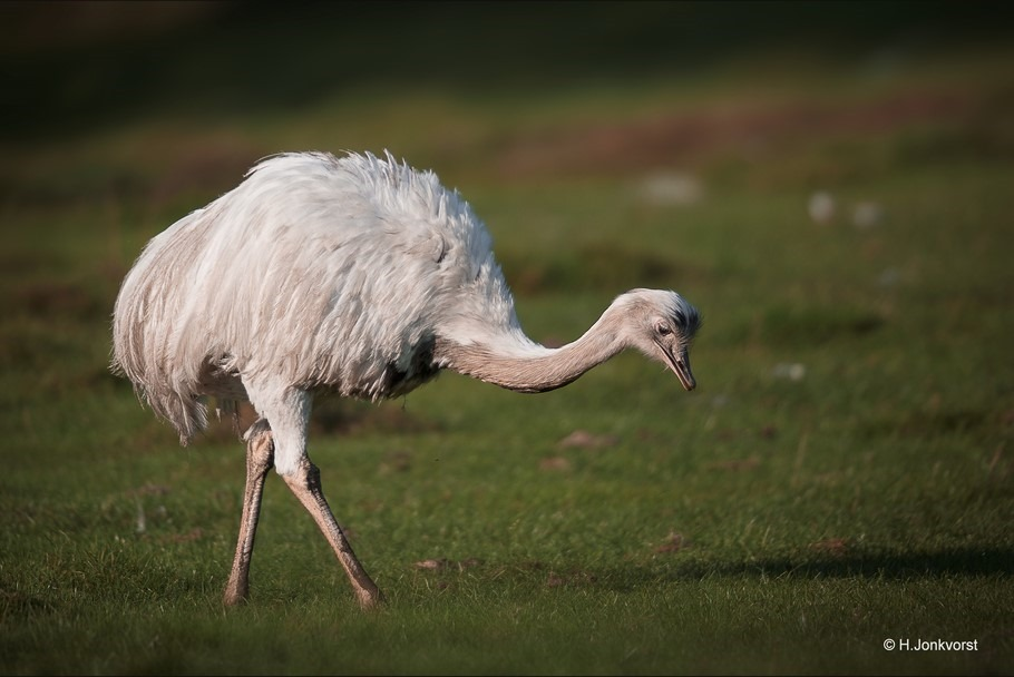 Staphorst Foto Kinderboerderij Samenzo Foto Nandoe Foto Zuid-Amerikaanse Loopvogel Foto Loopvogel Foto Kleine Struisvogel