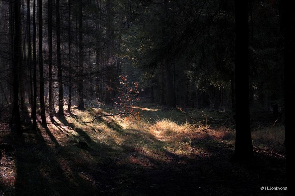 Staphorst Foto Zwarte Dennen Foto herfstbos Foto lichtval tussen bomen Foto Herfstsfeer Foto Herfstlicht Foto bosfotografie Foto fotograferen in het bos