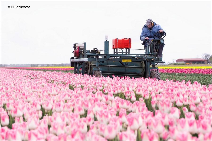Tulpenveld, Tulpenroute Noordoostpolder, Tulpenroute, Tulpenfestival, Tulpenfestival Noordoostpolder, Tulpenbelevingsveld, Bollenveld, Bollenroute, Bollenroute Noordoostpolder, Tulpenveld, tulpen koppen