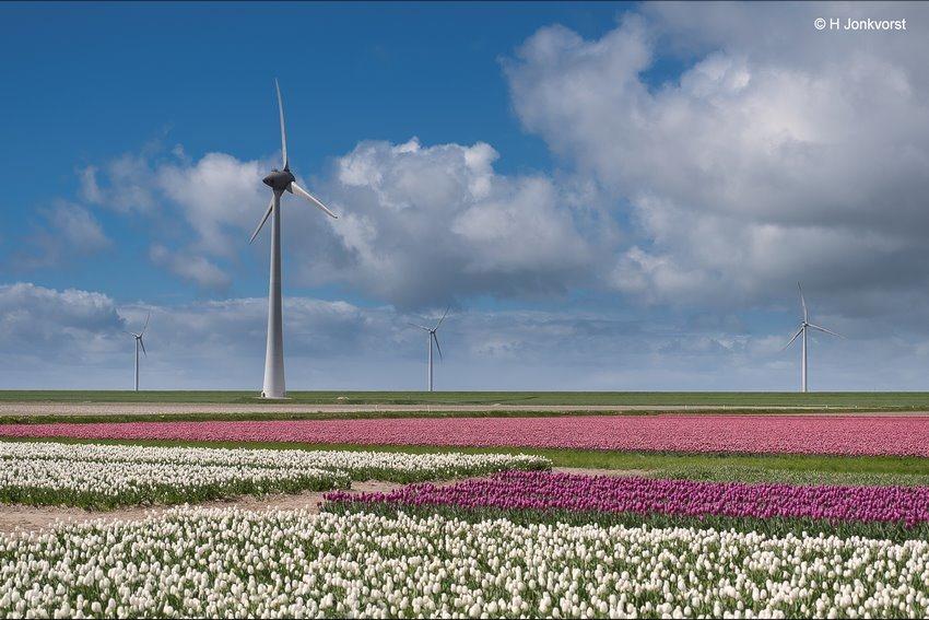 Tulpenveld, Tulpenroute Noordoostpolder, Tulpenroute, Tulpenfestival, Tulpenfestival Noordoostpolder, Tulpenbelevingsveld, Bollenveld, Bollenroute, Bollenroute Noordoostpolder, Tulpenveld