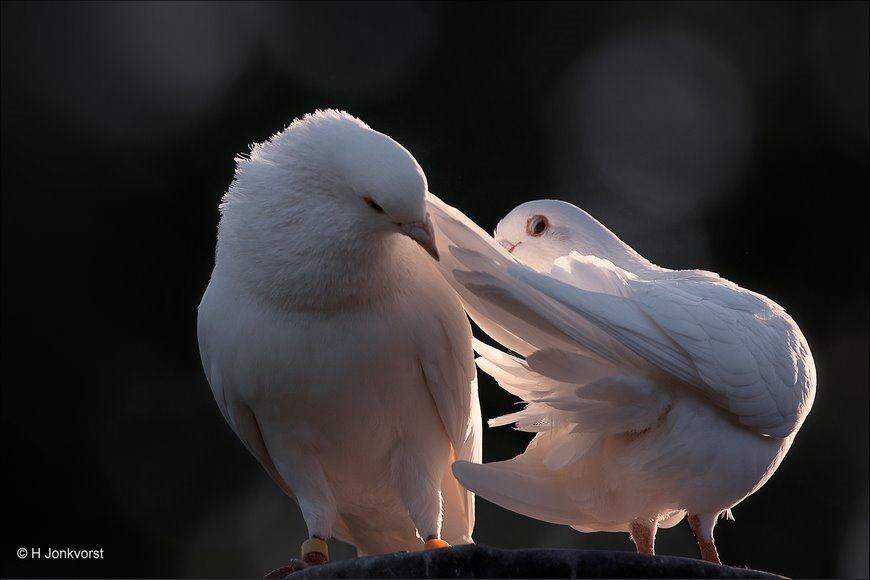 het tipje van de sluier, tipje van de sluier, het tipje van de sluier oplichten, verleidster, veren gladstrijken, witte duiven,witte duif, kinderboerderij samenzo, kinderboerderij Staphorst