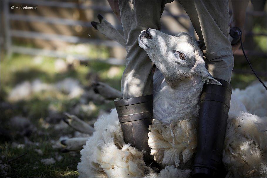 Schapen scheren, ultieme onderwerping, onderwerping, onderwerpen, schapen scheren veldschuur, schaapscheerdersfeest, de veldschuur, Staphorst