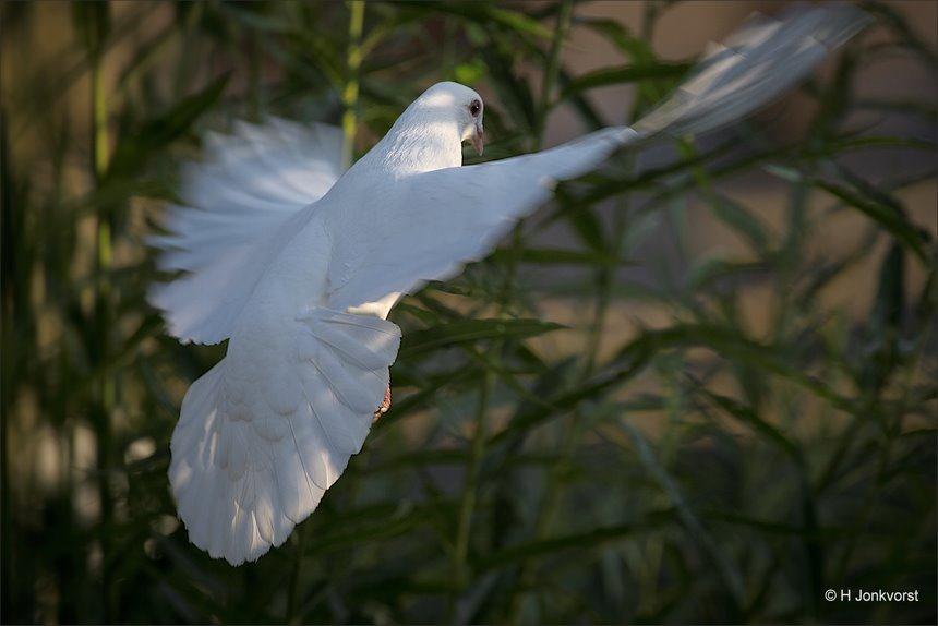 vliegende duif, beweging in vleugels, spread your wings, kinderboerderij Staphorst, witte duif, Kinderboerderij Samenzo