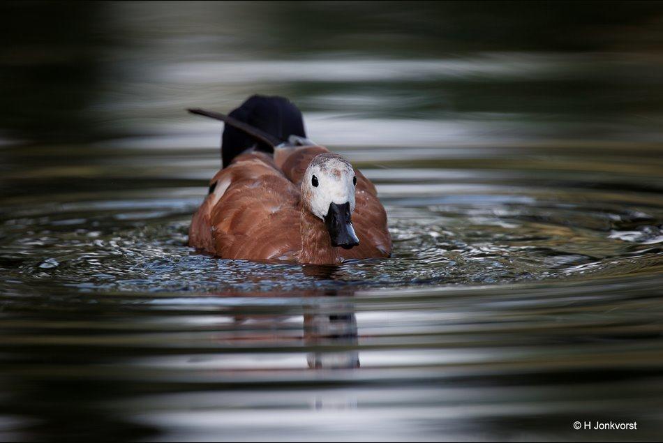 Kaapse Casarca, Grijskop Casarca, USO, unidentified swimming object, bijzondere eend, bijzondere kleurstelling, watervogel, eend,