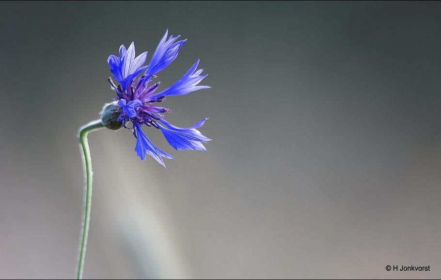 Korenbloem, Centaurea cyanus, wilde korenbloem, flora, bloemen