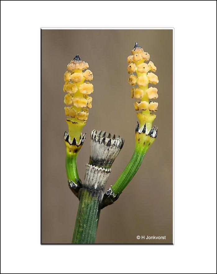 Holpijp, sporenplant, hieperdepiep hoera, hoera, pompon, pompons, flora