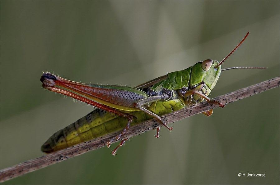 spring in 't veld, spring in het veld, sprinkhaan, insect