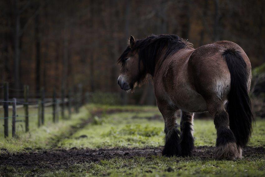 Paardenkont, Paardekont, stevige billen, dikke billen, Dikke kont, Belgische Knol, Belgisch Trekpaard, staphorster bos, Staphorst