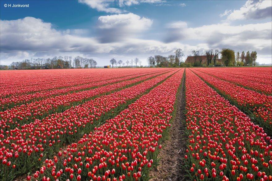 voorjaarskriebels, het verlangen naar voorjaar, dik pak sneeuw, pak sneeuw, verlangen naar voorjaar, Tulpenroute, Tulpenfestival Noordoostpolder, Tulpenroute Noordoostpolder
