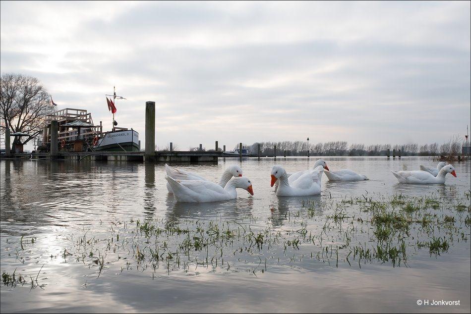 Waterrijk, waterrijke gebieden, Hoogwater Rivieren, Hoogwater IJssel, Hoogwater Nederland, Hoogwater Wijhe, Wijhe, Ganzen, Ganzen in waterrijke gebieden, overlast ganzen, watervogels uiterwaarden