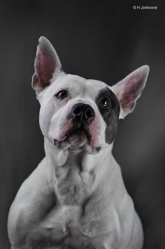 Lady, Dieren in de fotostudio, Studiofotografie met dieren, dieren fotograferen in de studio, dierenfotografie, Huisdieren fotograferen, Honden in de studio, Fotografie met dieren, Pitbull, Fotografie, Foto