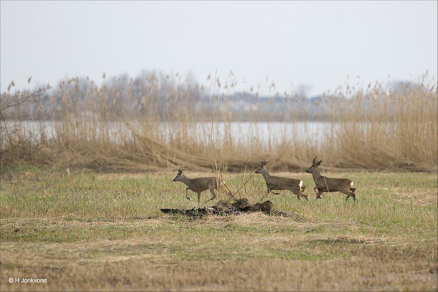 Mijn eerste reetjes, Reeën in het wild, ree, reeën, kudde reeën, reeën in rietland, schrikachtig, Natuur, Landschap, Fauna, Canon EF 300mm f2.8L IS USM, Fotografie, Foto