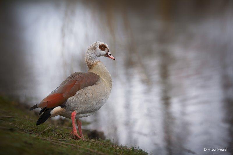 Nijlgans, agressieve gans, agressieve ganzen, vosgans, Fauna, Fotografie, Foto