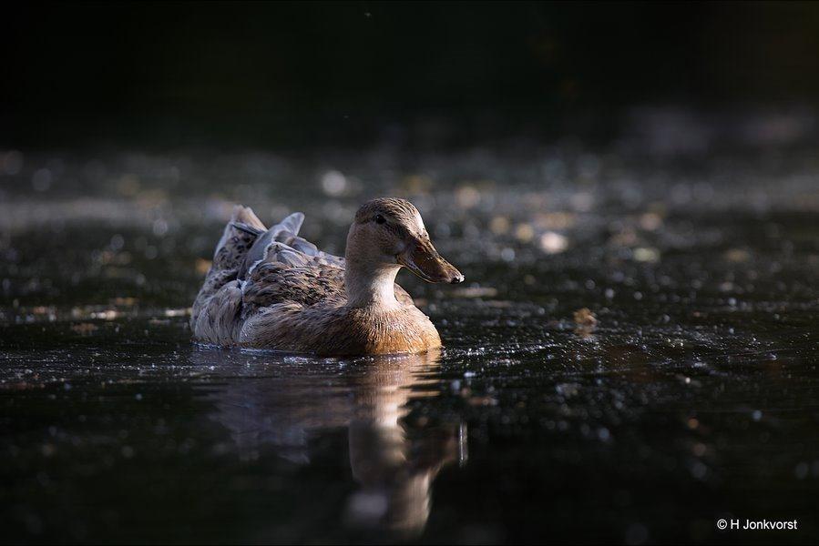Duck, wilde Eend, Wilhelminapark, Wilhelminapark Meppel, zwemmende eend, watervogel, Natuur, Fauna, Fotografie, Foto, Canon EF 300mm f2.8L IS USM, Canon 2x Extender