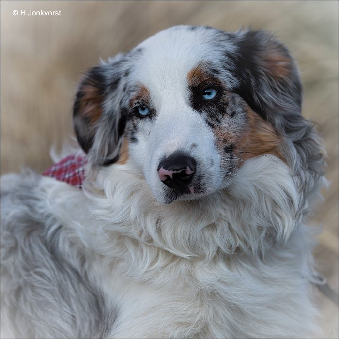 van die mooie blauwe ogen, blauwe ogen hondenras, hondenras met blauwe ogen, hond blauwe ogen, Fotografie, Foto