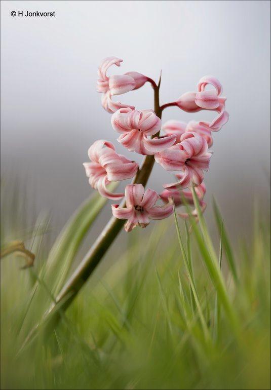 Hyacint, Flora, Bolgewas, siergewas, Canon eos R, Canon EF 200mm f2L IS USM, Canon 2x Extender, Fotografie, Foto, Photography, Photo