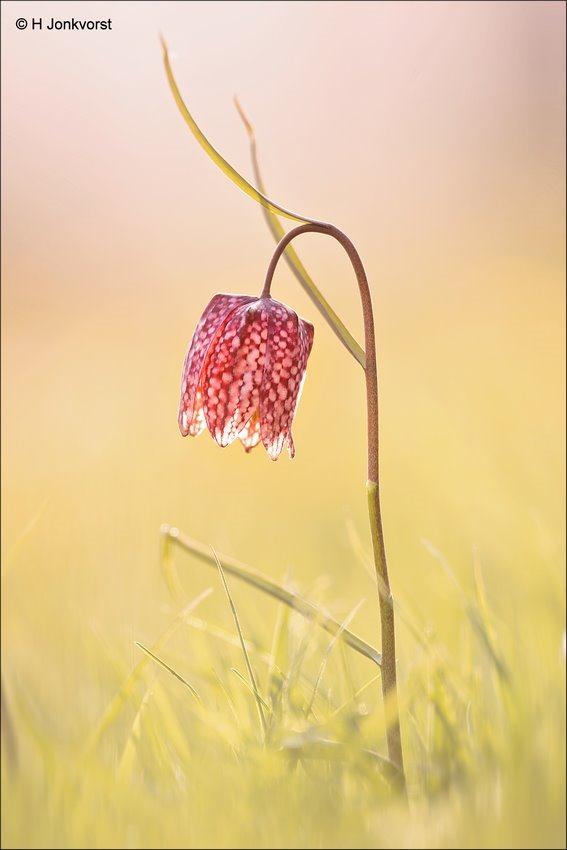 wilde kievitsbloem, wilde kievitsbloem Hasselt, wilde kievitsbloem Zwolle, kievitsbloem, stinzenplant, Fritillaria meleagris, Natuurreservaat de Brommerd, Natuurgebied de Brommerd, Zwolse tulp, Zwolse tulpen, Canon eos R