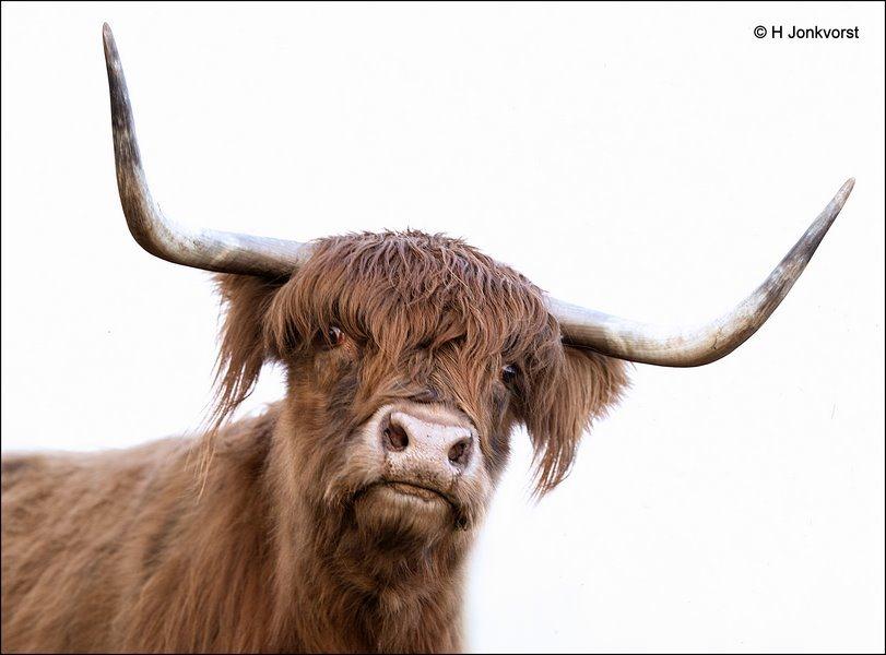 woesteling, puntige horens, Schotse Hooglander, Hooglander, wilde koe, Highland Cow, woeste uitstraling, afschrikwekkend, grote grazer, Fauna, Canon eos R, Canon EF 200mm f2L IS USM, Fotografie, Foto, Photography, Photo