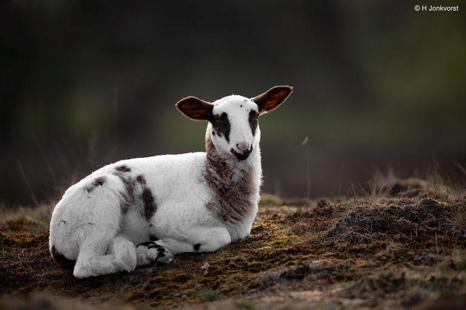 Lammetje, Lammetjes, lammetjes in de natuur, ongerepte natuur, Heideschaap, heideschapen, Schoonebeker schaap, Schoonerbeker, schapen in natuurgebieden, schapenras, natuurreservaat Takkenhoogte, natuurgebied rode oortjes